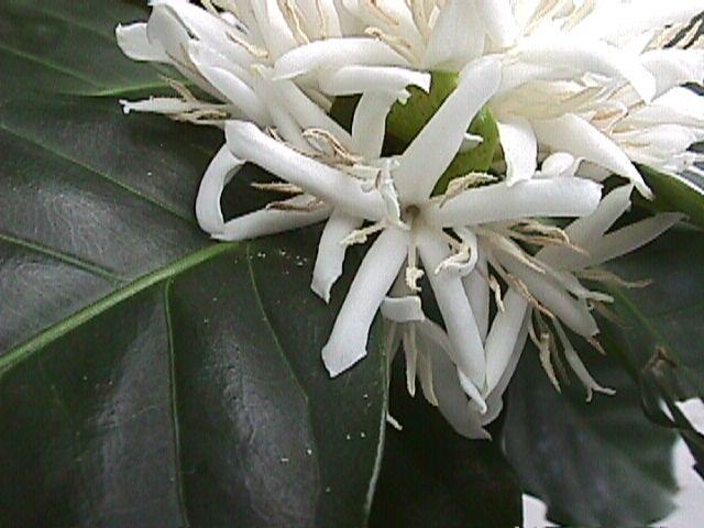 цветок кофе фото:
