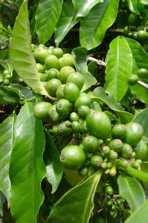зеленый кофе содержит